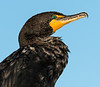 Double-Crested Cormorant - Anhinga Trail - Everglades - Homestead, Florida