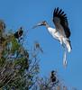 Levitating Wood Stork - Wakodahatchee Wetlands