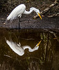 Great White Egret - Everglades