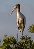 Wood Stork - Everglades