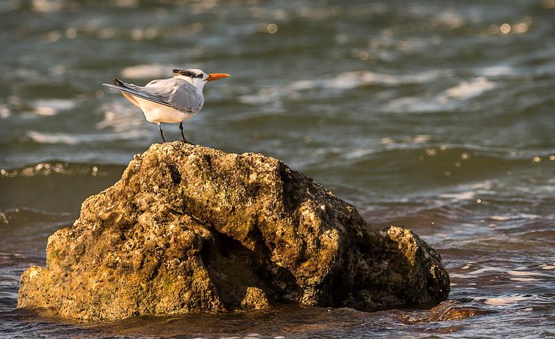 Biscayne Bay National Park - Tern