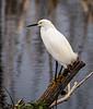 Great Egret - Lake Apopka
