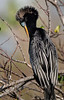 Anhinga - Anhinga Trail - Everglades - Homestead, Florida
