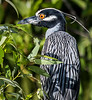 Yellow-crowned Night Heron - Everglades
