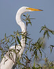 Great White Egret - Everglades