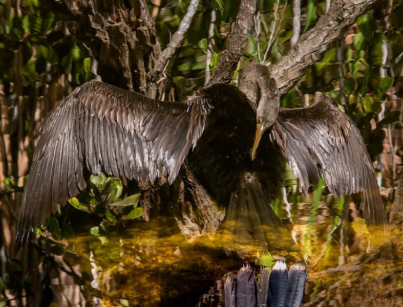 Female Anhinga - Everglades