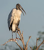 Wood Stork - Wakodahatchee Wetlands