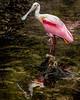 Roseate Spoonbill - St. Augustine Alligator Farm Rookery