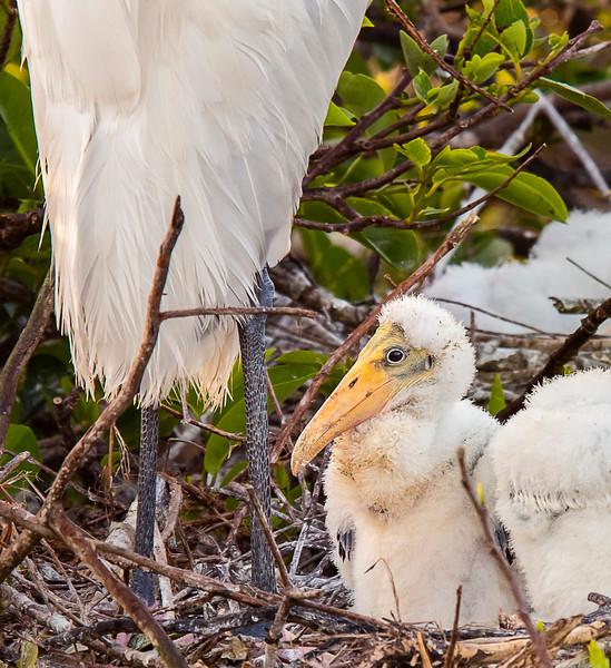 Wood Stork Chicks - Wakodahatchee Wetlands