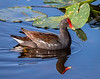 Common Gallinule - Wakodahatchee Wetlands