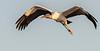 Wood Stork - Wakodahatchee Wetlands