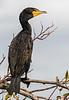 Double-Crested Cormorant - Anhinga Trail - Everglades - Homestead Gate