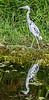 Little Blue Heron (Immature) - Wakodahatchee Wetlands