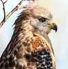 Red-Shouldered Hawk - Anhinga Trail - Everglades - Homestaed, Fliorida