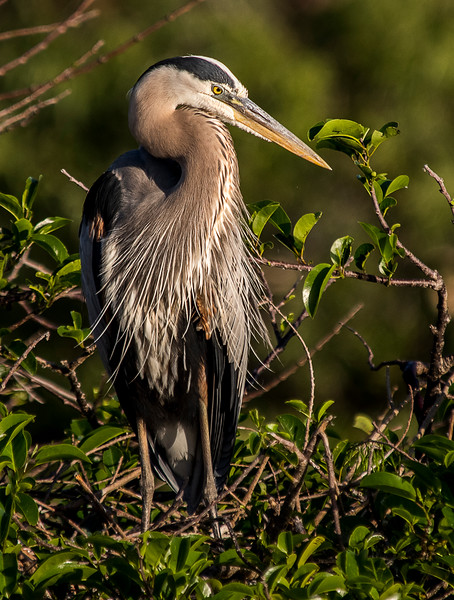 Great Blue Heron - Wakodahatchee Wetlands