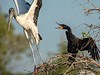 Don't even think about landing in my tree!!! Wood stork & Cormorant - Wakodahatchee Wetlands
