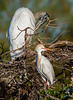 Wood Stork & Cattle Egret - Wakodahatchee Wetlands