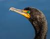 Double-Creast Cormorant - Anhinga Trail - Everglades