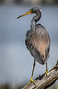 Tri-colored Heron - Wakodahatchee Wetlands