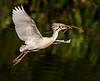 A Nest-building Cattle Egret - Wakodahatchee Wetlands