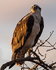 Osprey - Everglades - Homestead Gate