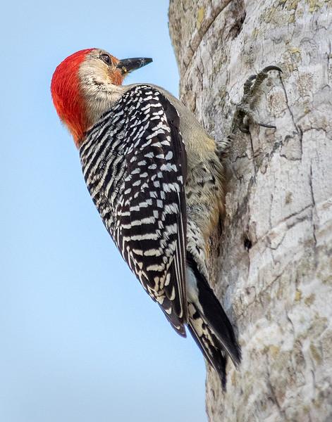 Red-bellied Woodpecker - Everglades