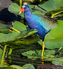 American Purple Gallinule - Everglades