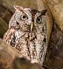 Screech Owl - Wakodahatchee Wetlands