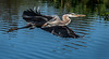 Great Blue Heron - Wakodahatchee Wetlands