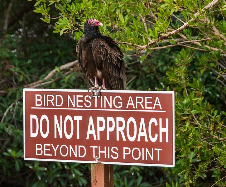 Turkey Vulture - Everglades