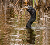 Anhinga Fishing - Everglades