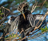 Anhinga with Breeding Colors - Wakodahatchee Wetlands