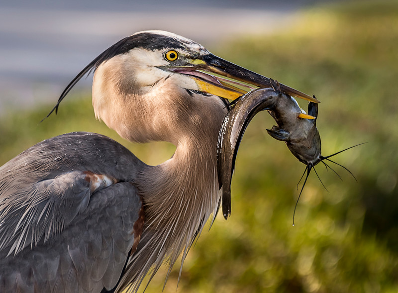 Great Blue Heron with Catfish - Everglades