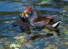 Common Gallinule Feeding Chicks - Wakodahatchee Wetlands