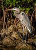 Great Blue Heron - Biscayne National Park