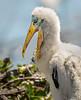 Wood Stork Chick - Wakodahatchee Wetlands