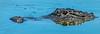 Alligator - Wakodahatchee Wetlands