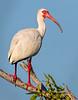 White Ibis - Everglades