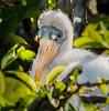 Wood Stork Chick - Wakodahatchee Wetlands