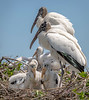 Wood Storks & Chicks - Wakodahatchee Wetlands