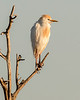 Cattle Egret - Wakodahatchee Wetlands