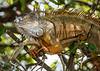 Iguana - Wakodahatchee Wetlands