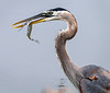 Great Blue Heron with Atlantic Needlefish - Lake Apopka