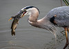 Great Blue Heron with Catfish - Lake Apopka