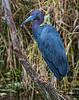 Little Blue Heron - Lake Apopka