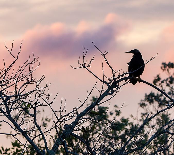 Anhinga at Dawn - Anhinga Trail - Everglades - Homestead, Florida