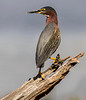 Green Heron - Wakodahatchee Wetlands