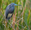 Tricolored Heron - Lake Apopka