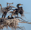 Cormorant with chicks - Wakodahatchee Wetlands