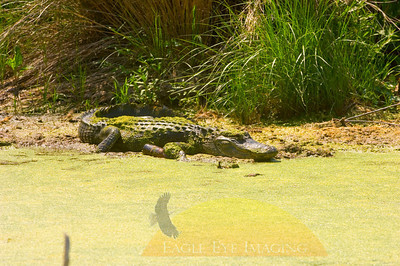 A large alligator basks in the sun in a Florida swamp